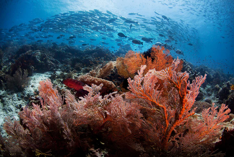 Dive Soft Coral Schooling Jacks