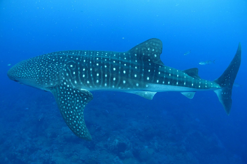 whale shark - diving in west papua