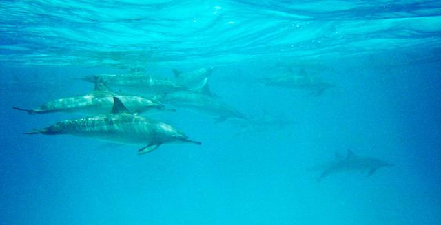 Dolphins in Raja Ampat Ocean