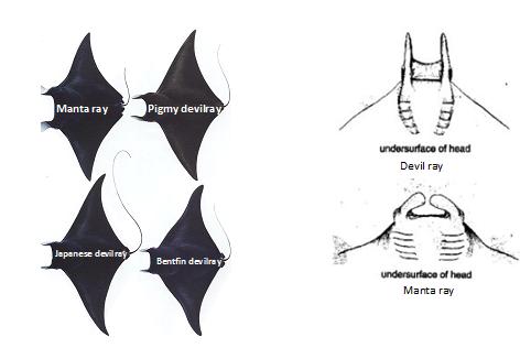 Devil Ray - Raja Ampat Diving
