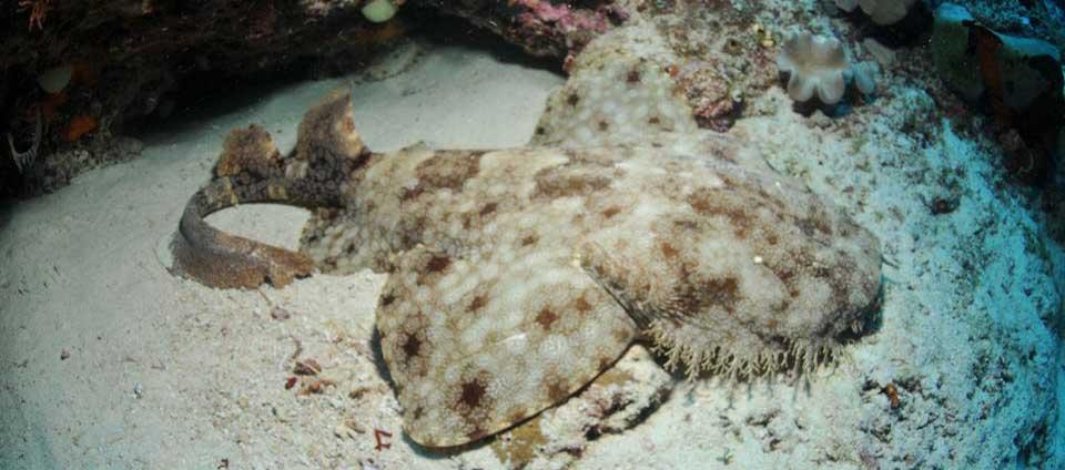 Wabegong shark Papua Paradise