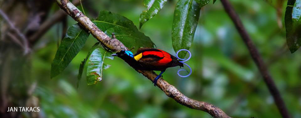 Cendrawasih Bird Watching In Raja Ampat