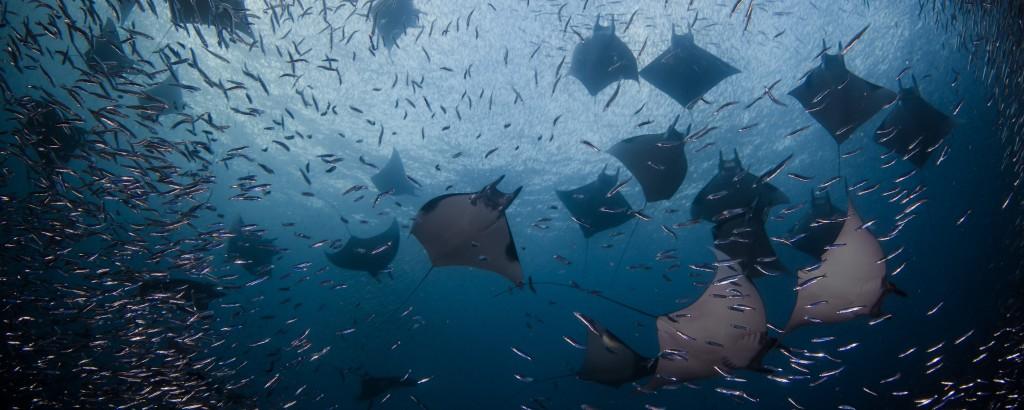 Explore Raja Ampat Manta Ray