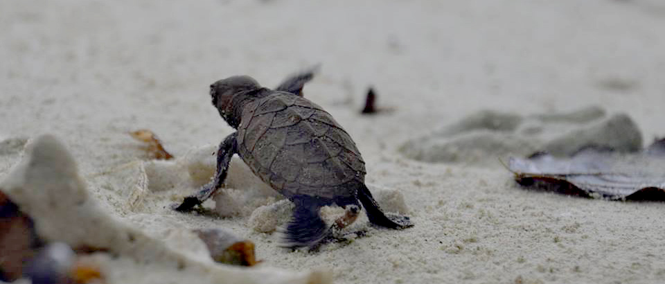 Turtle Conservation raja Ampat