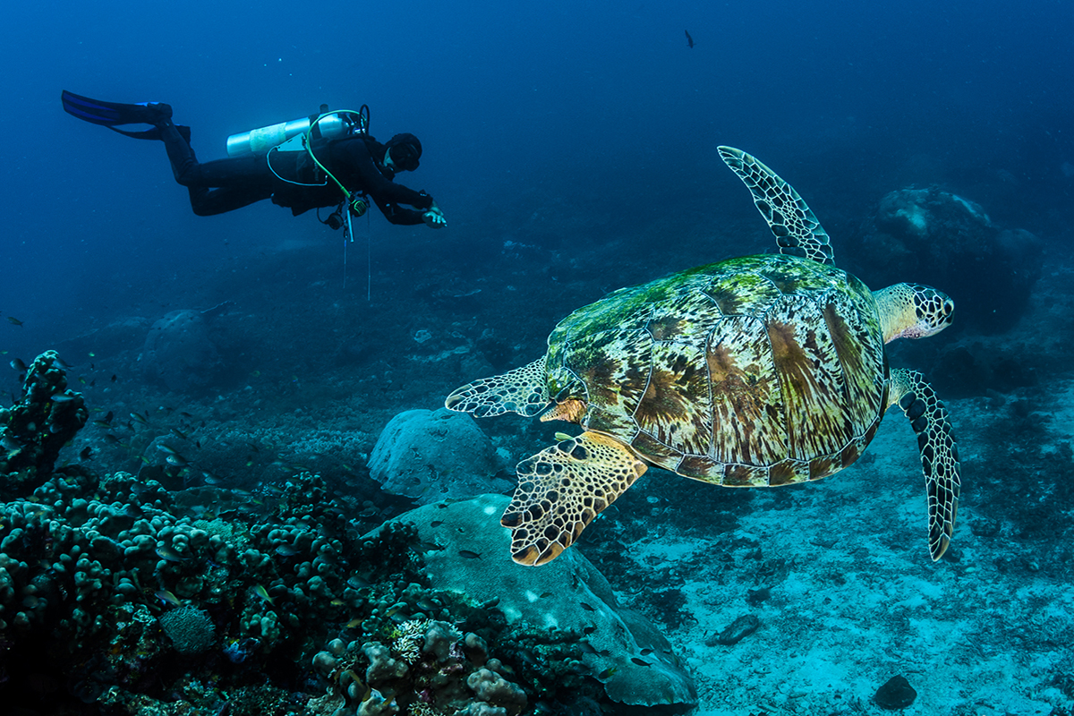 Hawksbill turtle at Raja Ampat
