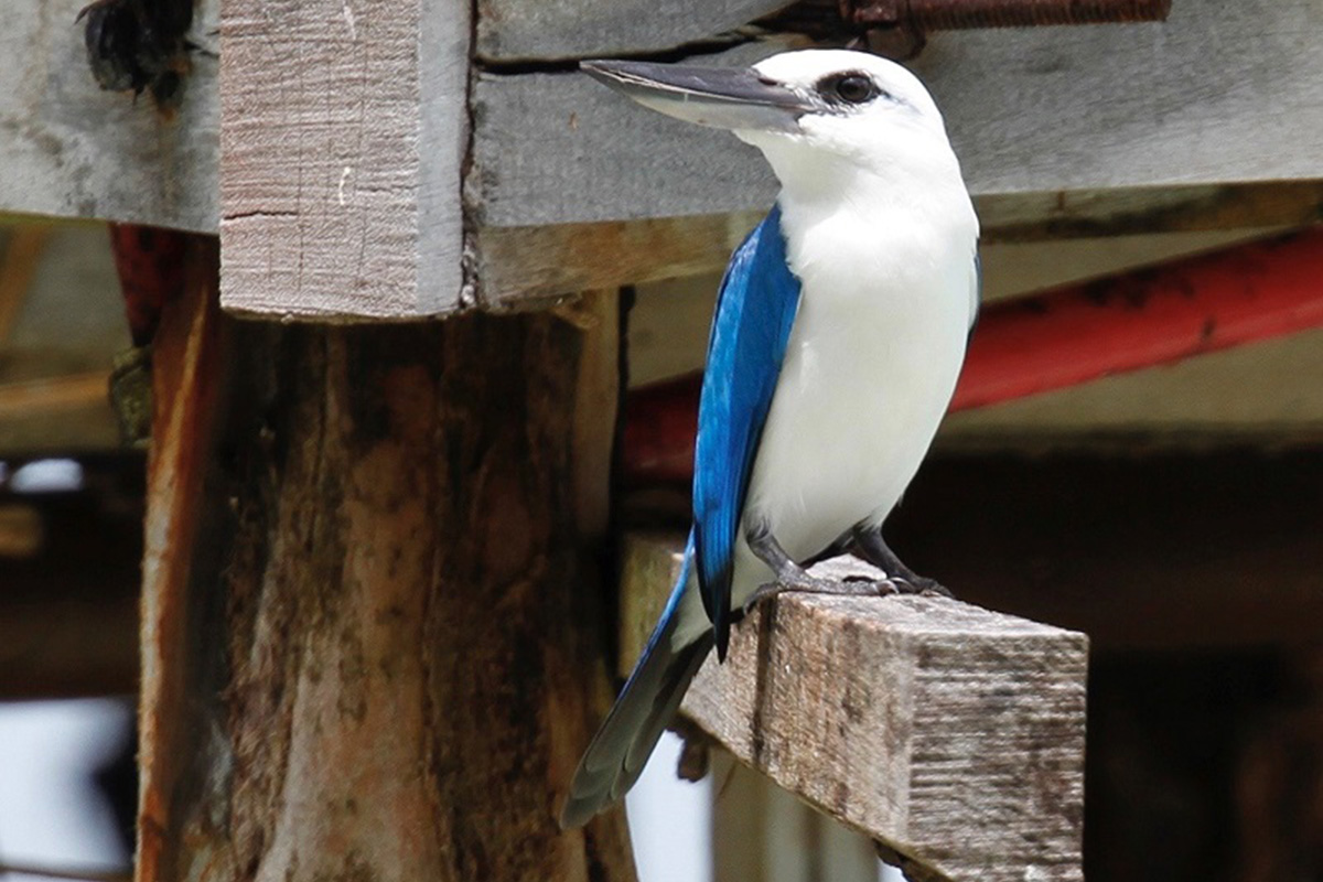 Beach Kingfisher at Papua Paradise Eco Resort