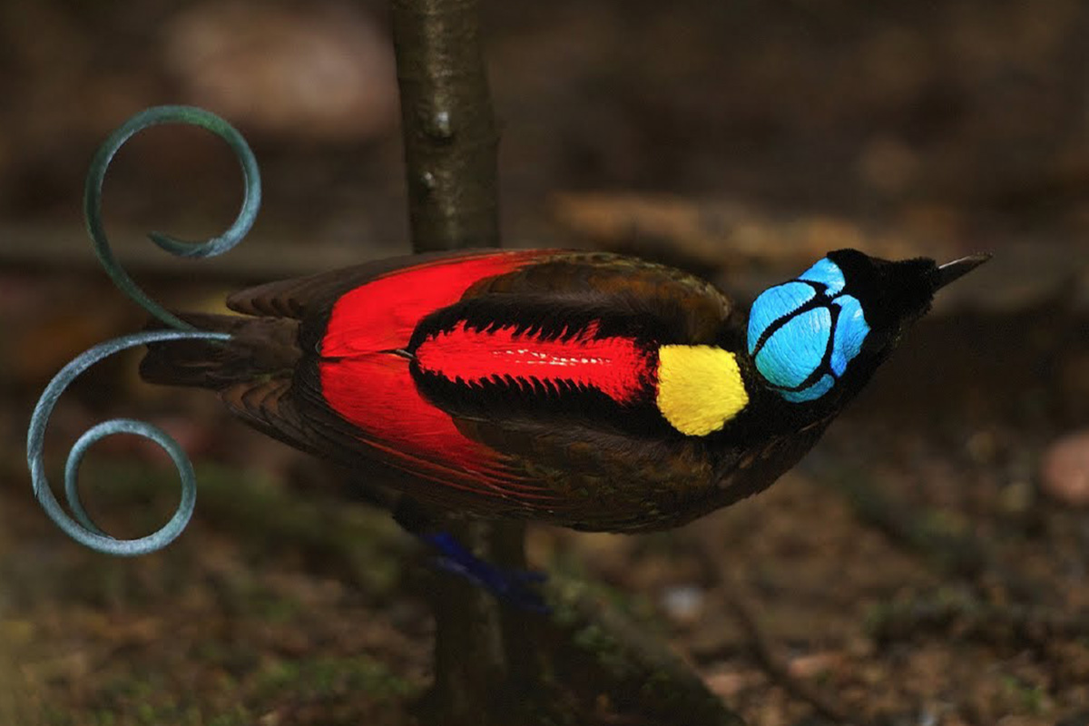 Birding in Raja Ampat, West Papua: A Birder's Heaven