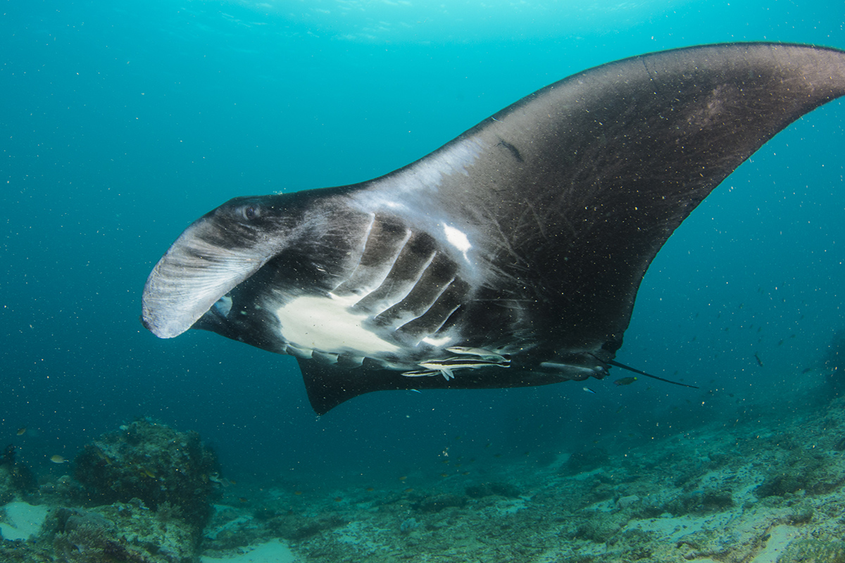 Diving with Manta Rays in Raja Ampat