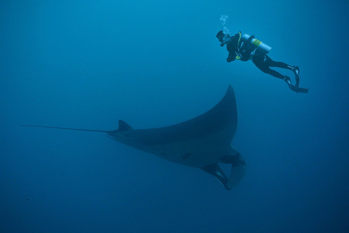 Diving with Oceanic Manta Rays in Raja Ampat