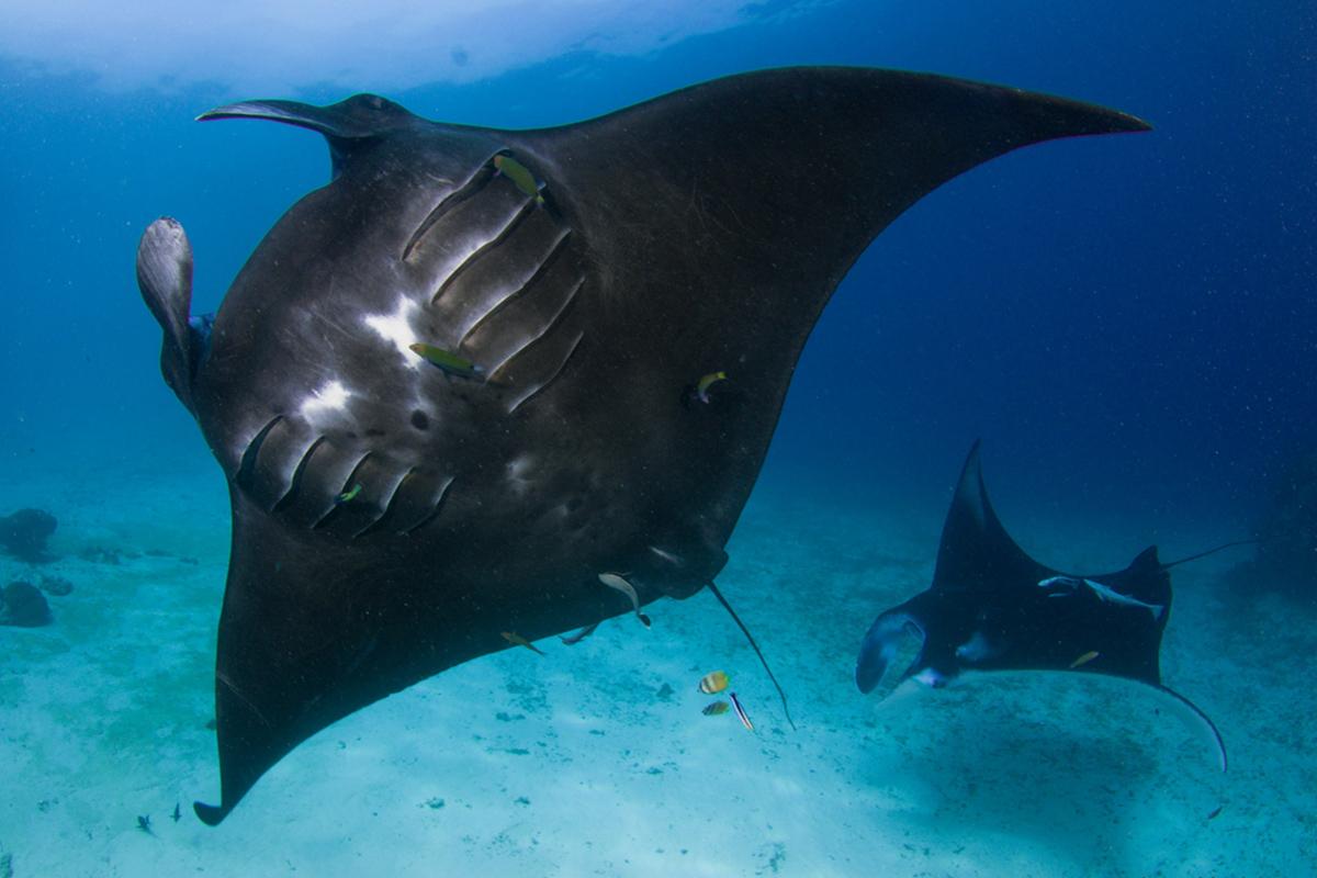 Diving with Black Manta Rays in Raja Ampat
