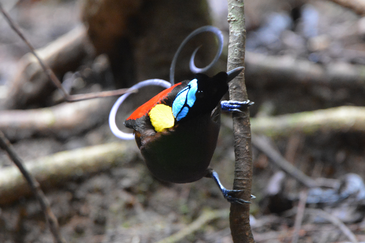 Wilson's bird-of-paradise - Picture by Christoph Schreiner