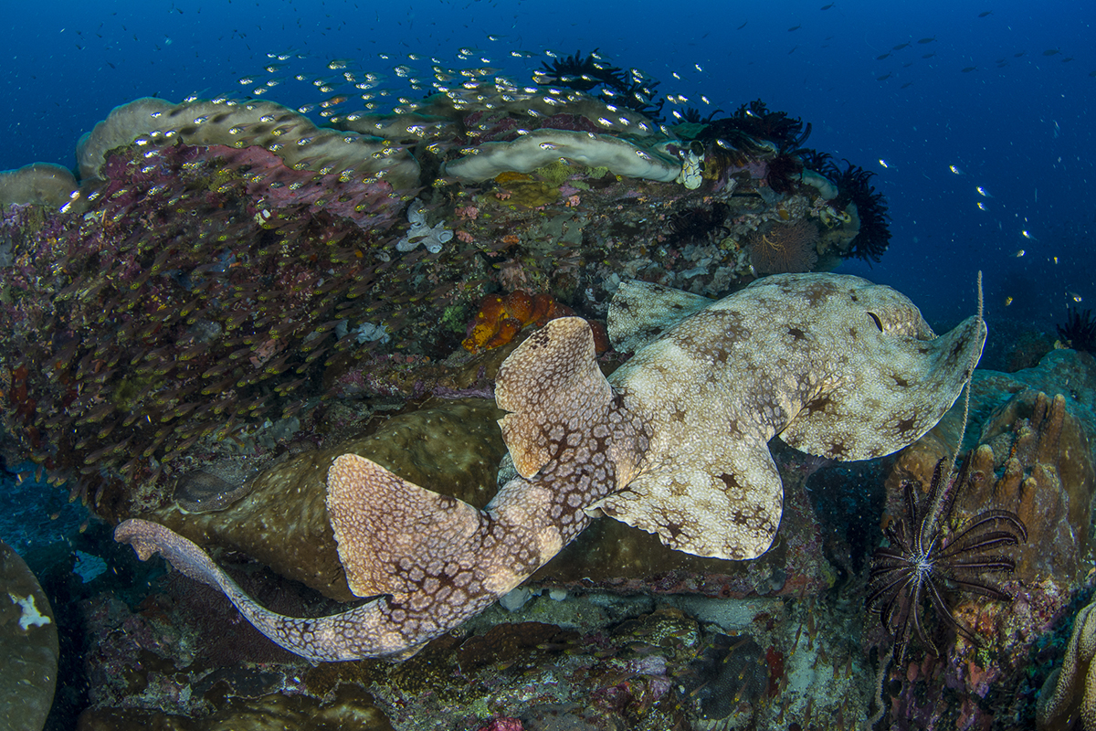 Wobbegong Shark - Searching for the Endemic Species of Raja Ampat