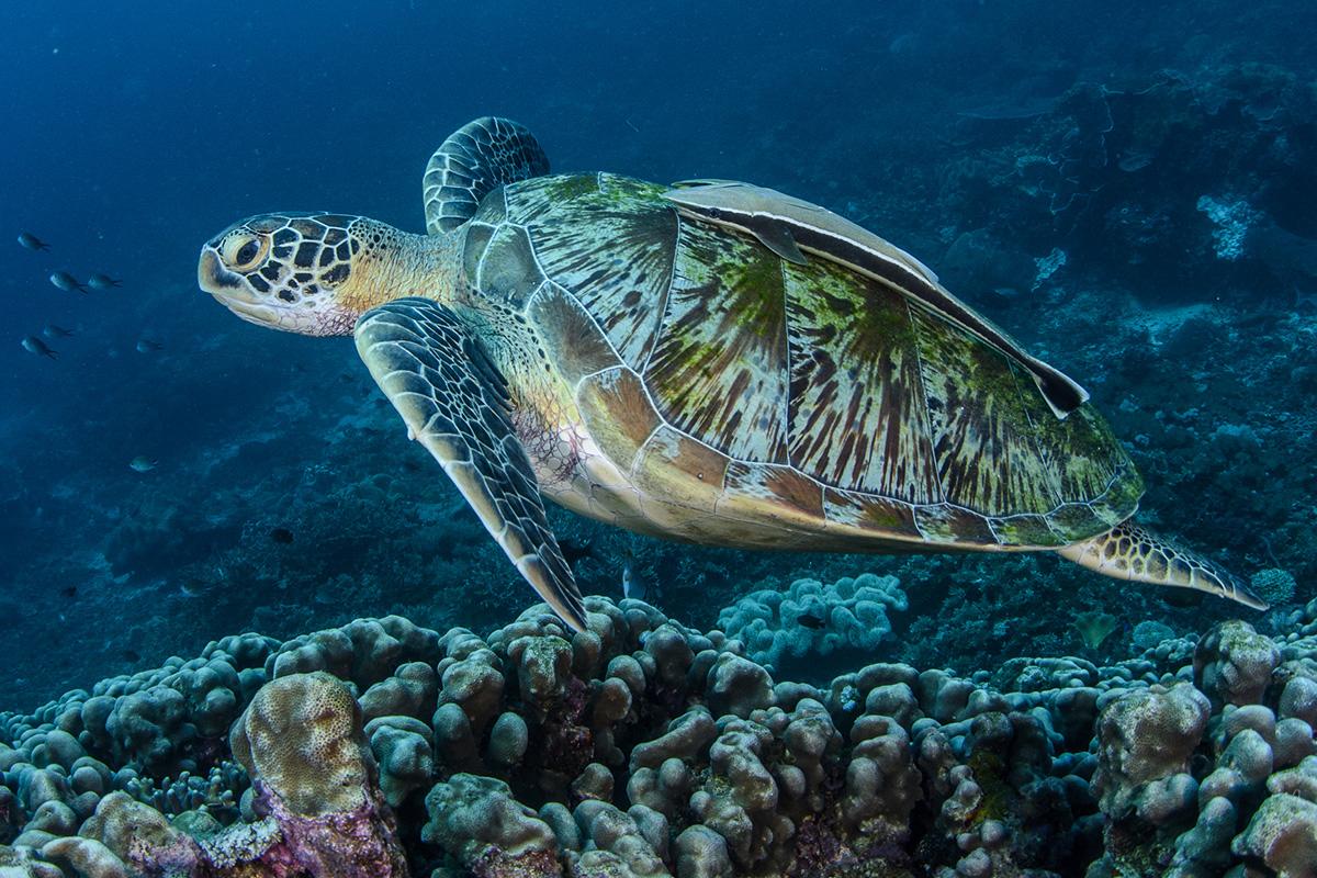 Sea turtle conservation in Raja Ampat