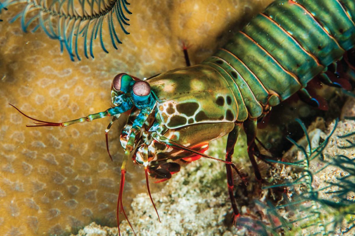 Mantis Shrimp - Searching for the Endemic Species of Raja Ampat