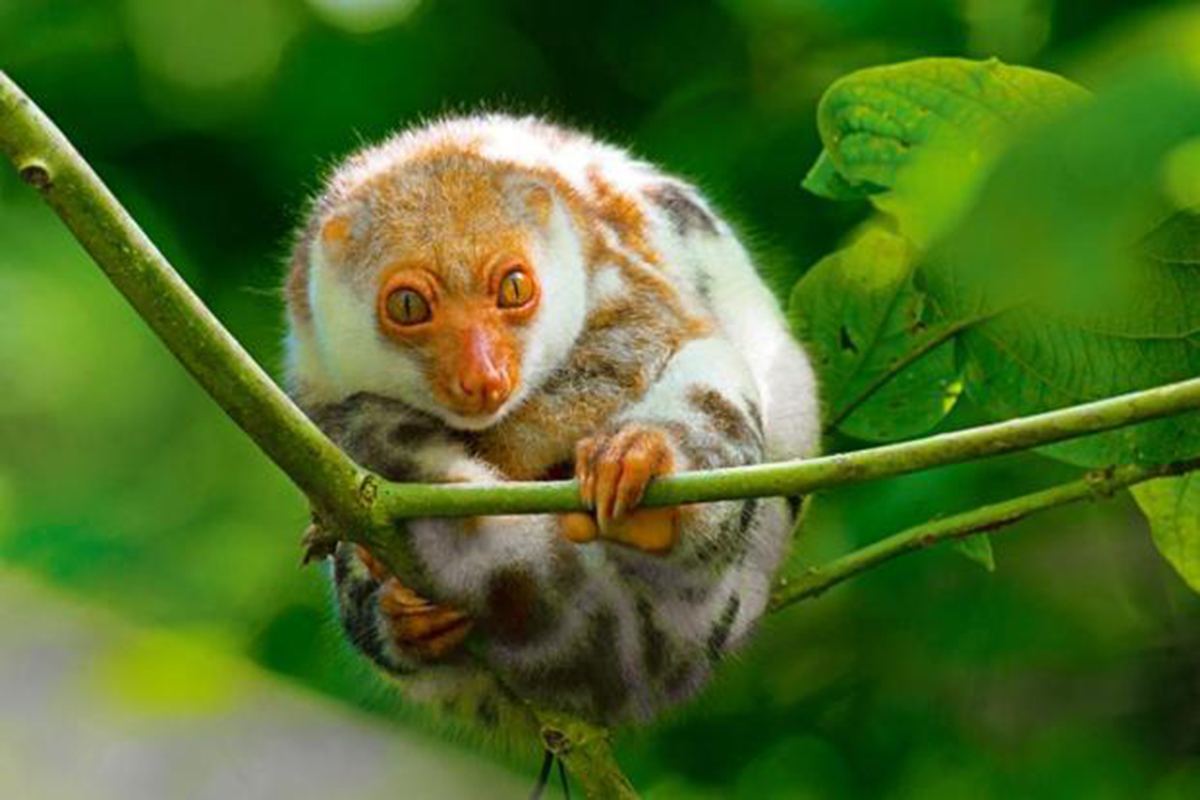 Waigeo cuscus - Searching for the Endemic Species of Raja Ampat