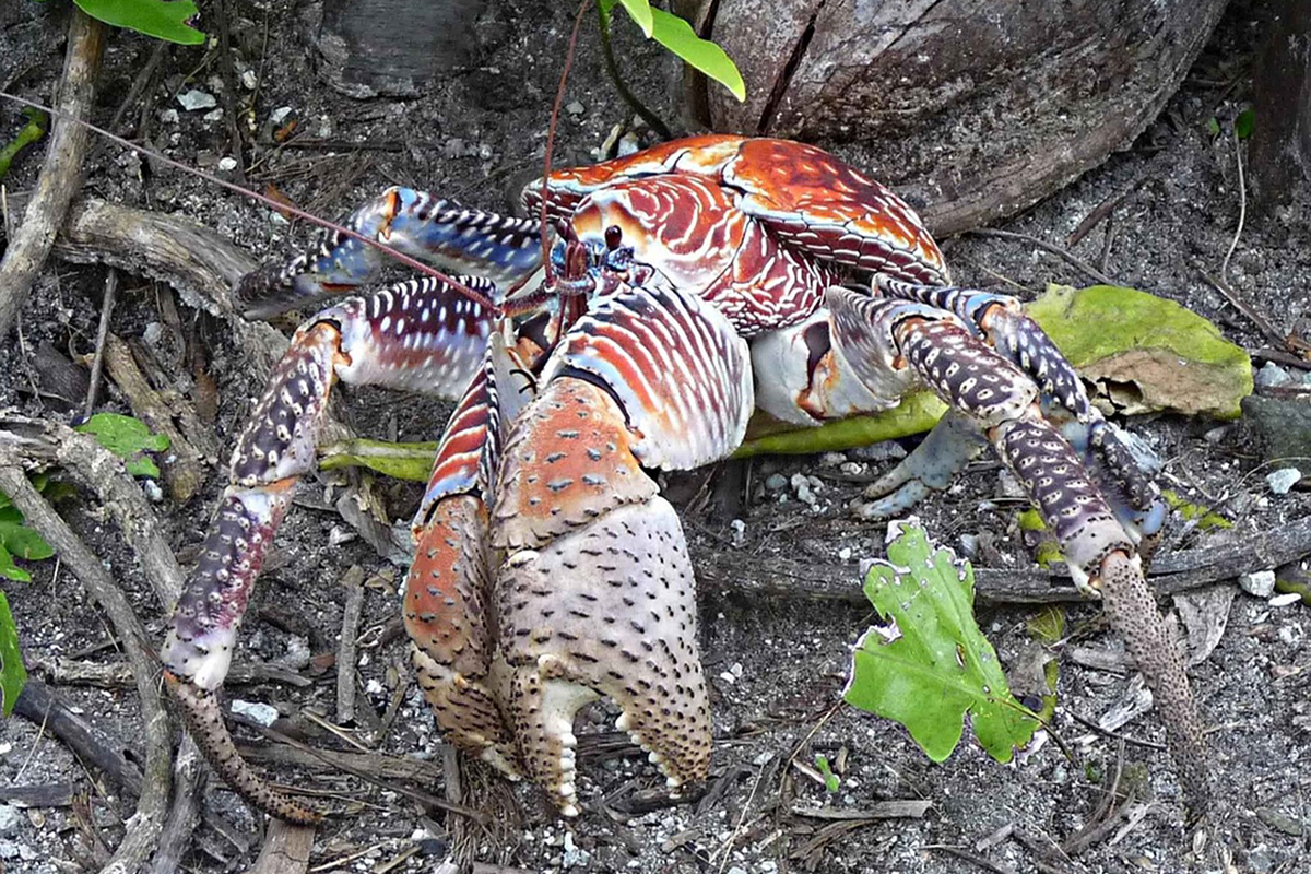 The Plight of Raja Ampat's Coconut Crabs
