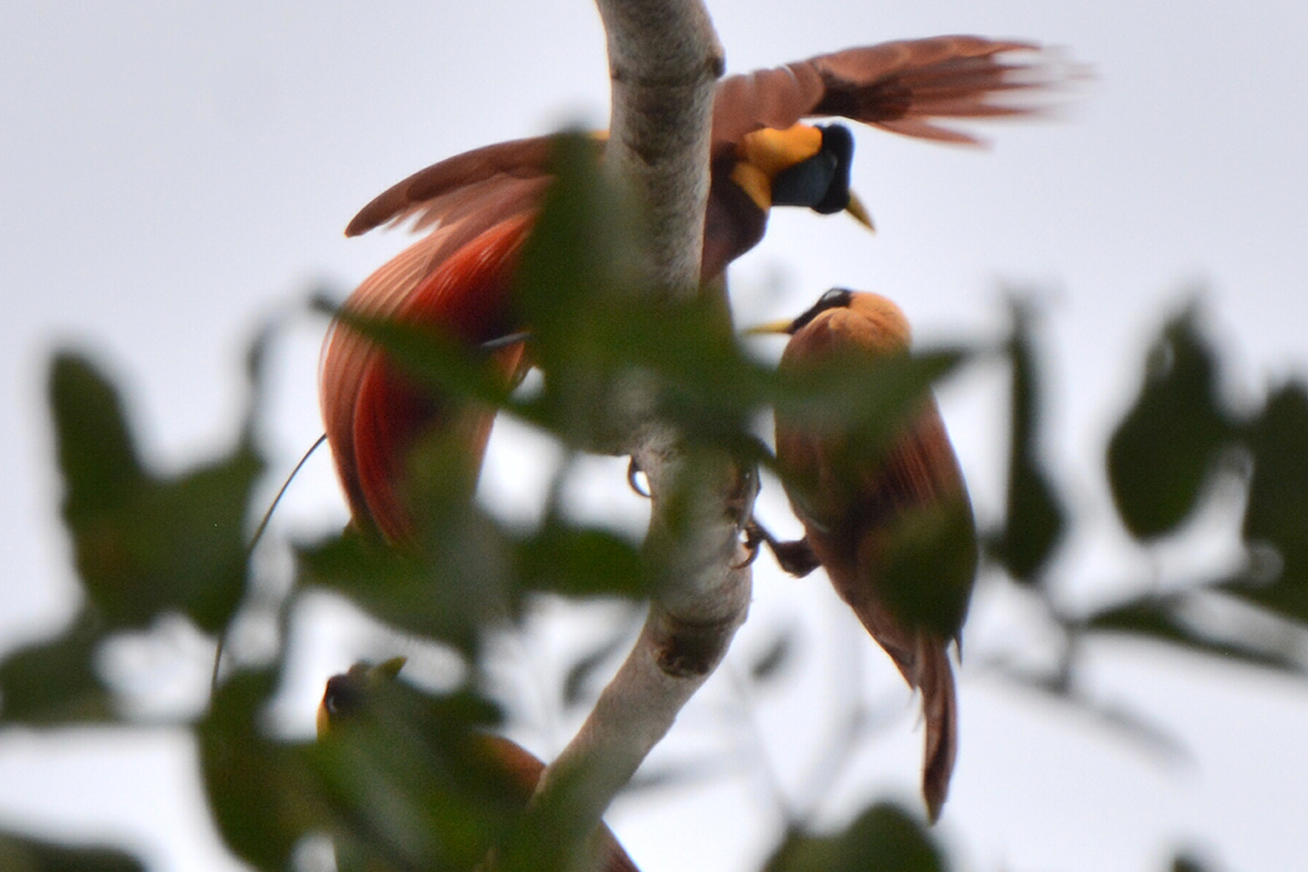Where to Find Red Birds of Paradise in Raja Ampat