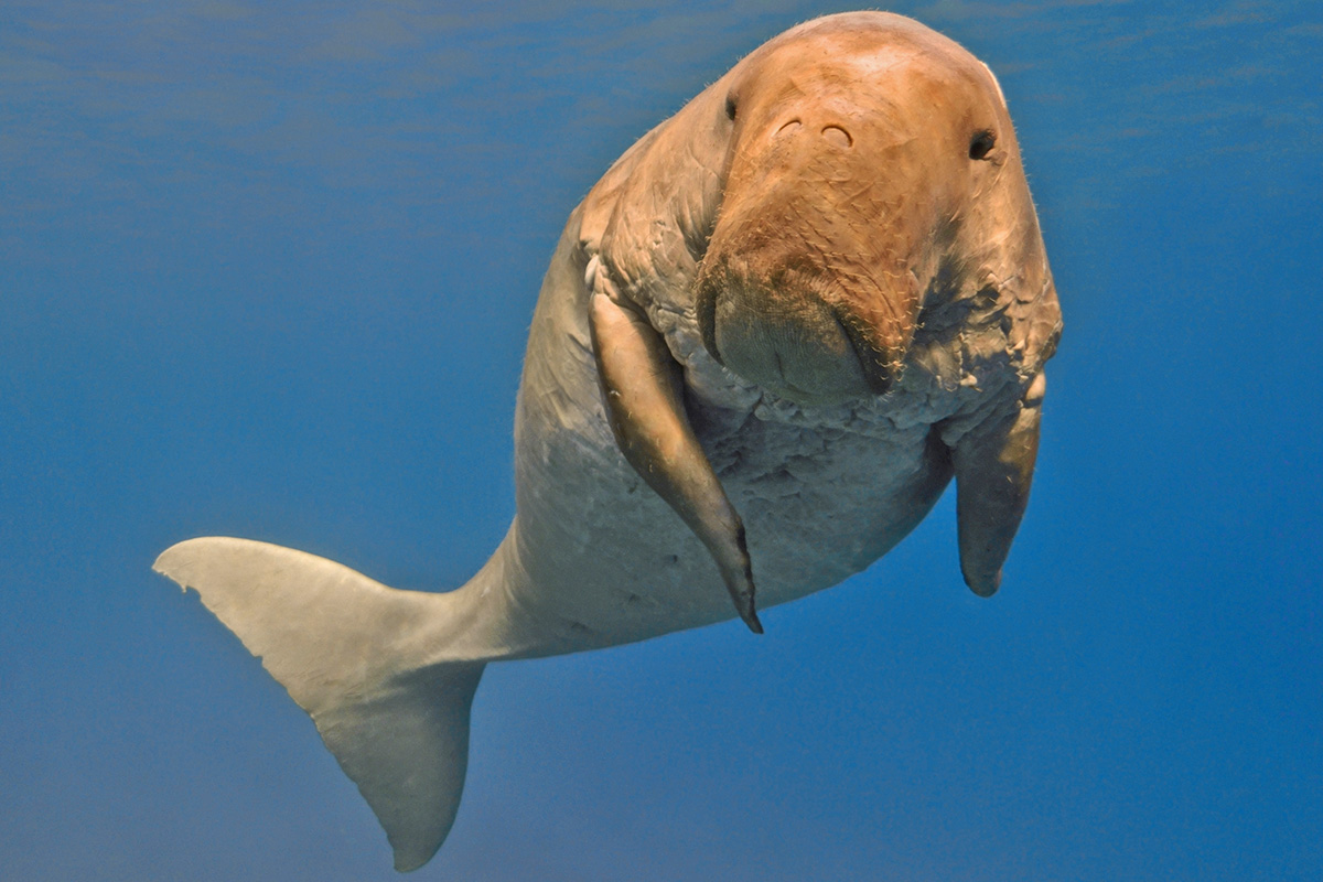 5 Fascinating Facts About Dugongs